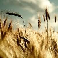 Champ de blé - farines bio